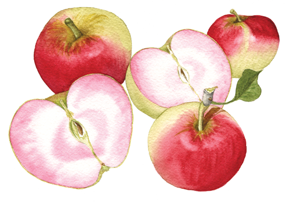 Apple-'Pink-Pearl'