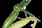 Bicolor sweet corn