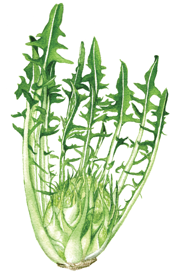 Chicory-puntarelle