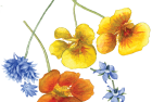 Edible flowers: cornflower, nasturtium + borage