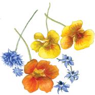 Edible flowers: cornflower, nasturtium + borage
