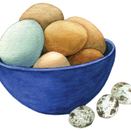 Araucana, brown + quail eggs