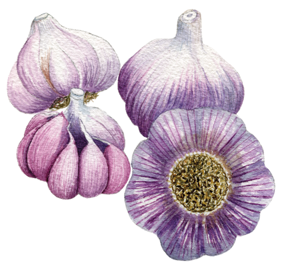 Garlic-'Spanish-Rojo'