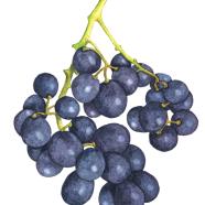 Peony grapes