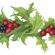 Mizuna, cranberries + coastal huckleberries