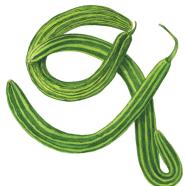 Painted Serpent cucumber
