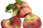 Yen Yen peach