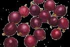 Lloyd George red gooseberries