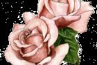 Koko Loco rose