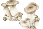 Royal Trumpet mushrooms
