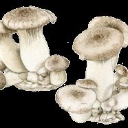 Royal Trumpet mushrooms