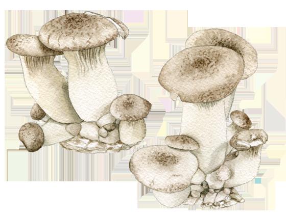 Royal-trumpet-mushrooms