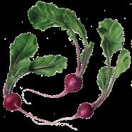 Scarlet Queen turnip
