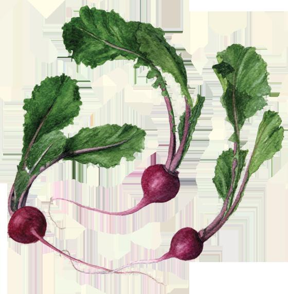 Scarlet-turnips