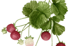 Sarian strawberry