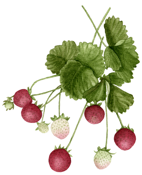 Strawberry-'Sarian'
