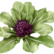 Violet Queen broccoli