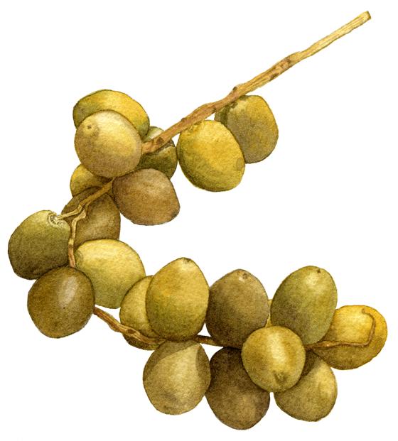 Yellow-dates
