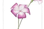 agrostemma