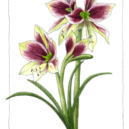Papillion amaryllis
