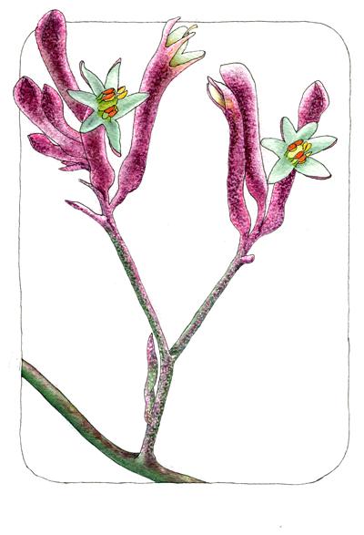 anizoganthus