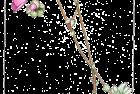 calandrinia