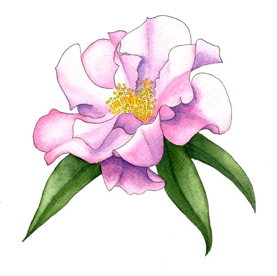 camellia-'buddha'