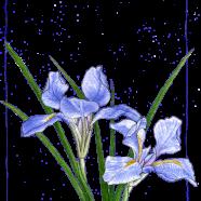 douglas iris