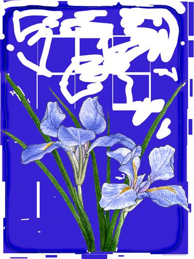 douglas-iris