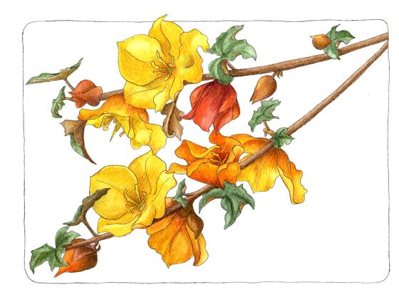 fremontadendron