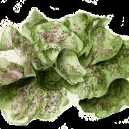Speckled Butterhead lettuce