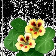 nasturtiums