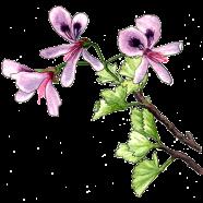fancy pelargonium