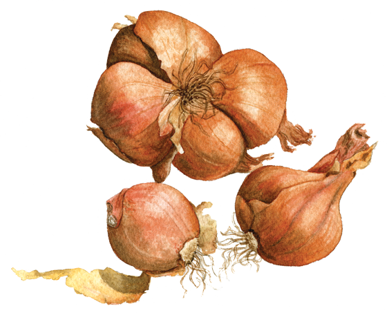 shallots-'French-Red'