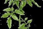 flowering tomato plant