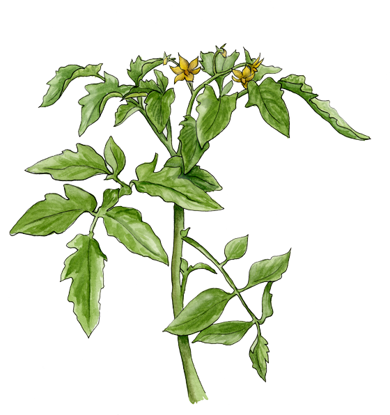 tomato-plant-with-flowers