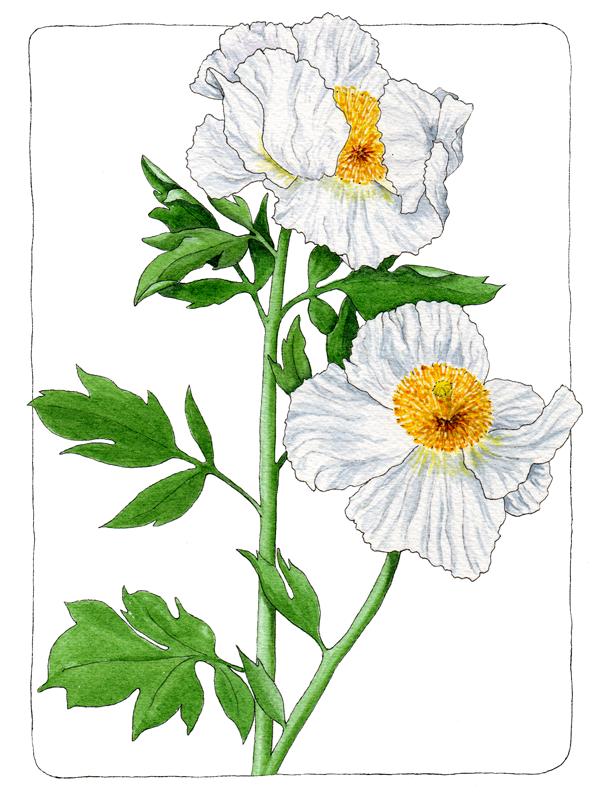 matilija-poppy