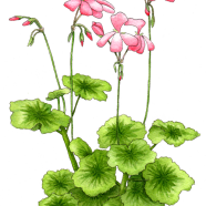 scented pelargonium
