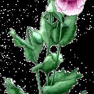 breadseed poppy