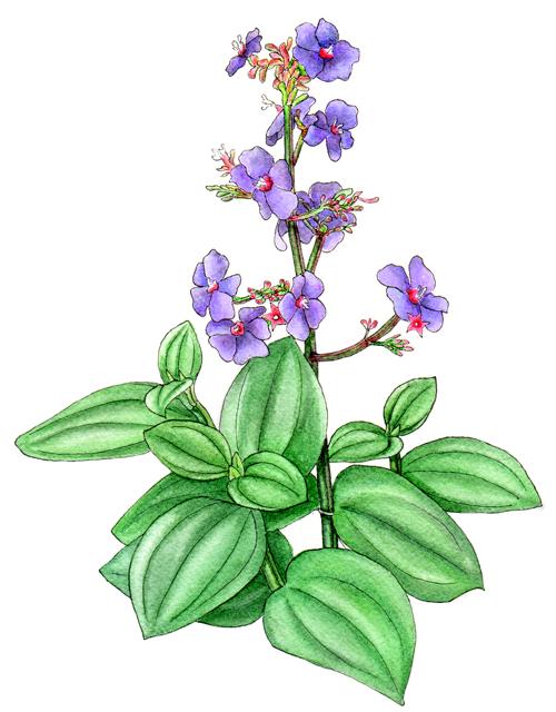 Tibouchina-heteromalla