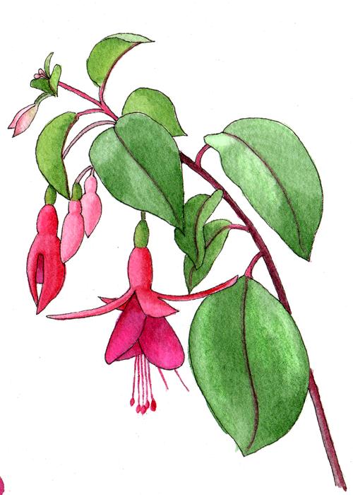 fuchsia-hybrid