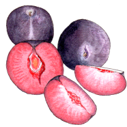 elephant heart plums