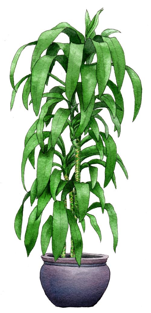 Helen Krayenhoff - Botanical Watercolor Paintings