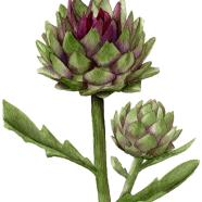 Violetto artichoke