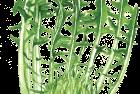 Puntarelle chicory