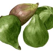 Figs: Adriatic + Brown Turkey