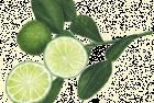 Makrut or Keiffer limes
