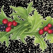Mizuna, cranberries + coastal huckleberries
