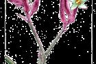 anizoganthus – kangaroo paw