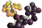 Grapes: Bronx + Ribier
